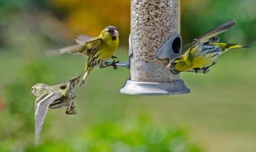 fleeing siskins