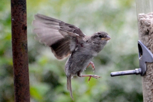 flying baby sparrow