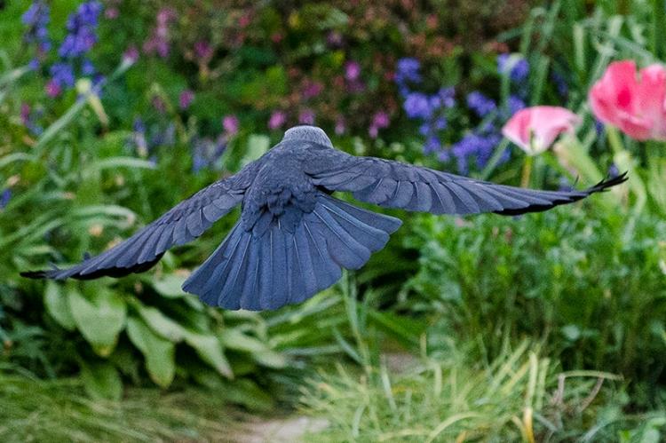 flying jackdaw making off