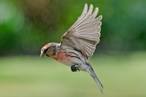 flying redpoll