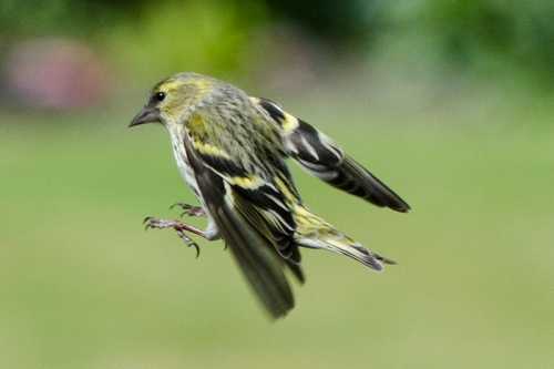 flying siskin flaps down