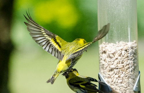 flying siskin in attack mode
