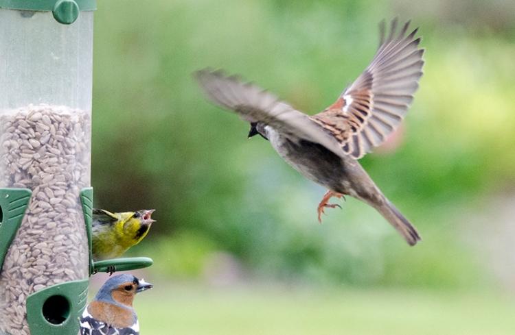 flying sparrow unwelcome