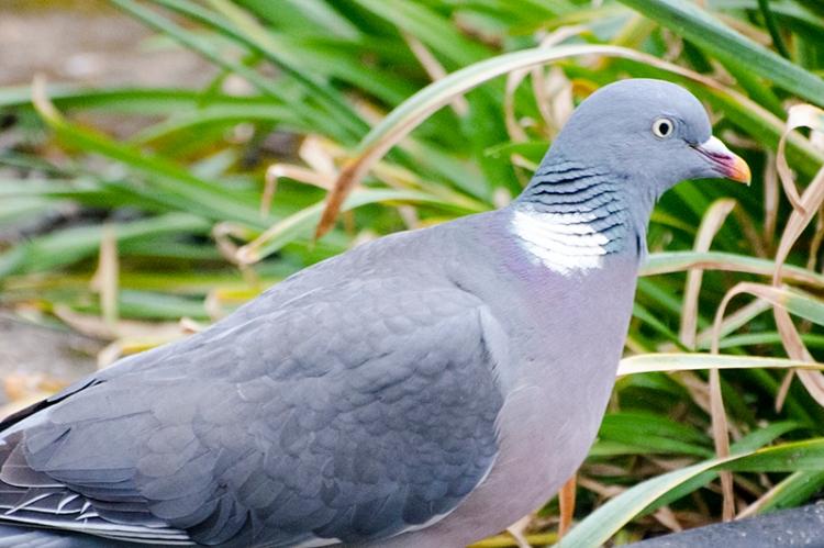 focused pigeon