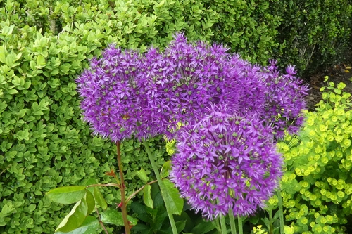 four alliums