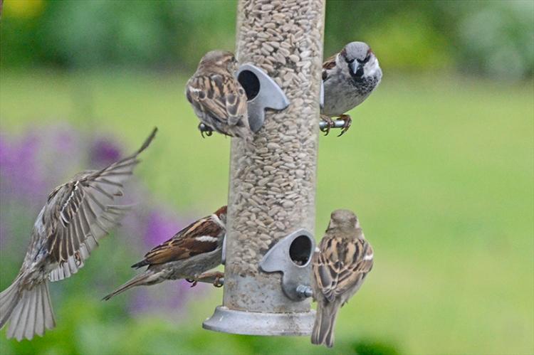four sparrows (2)