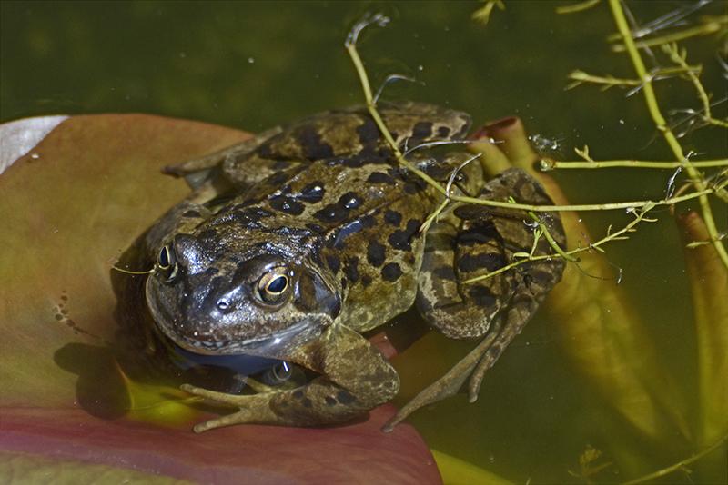 frog may