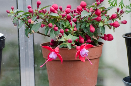fuchsia in green house