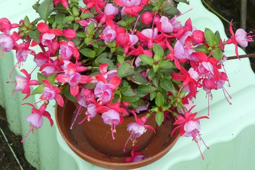 fuchsia out of greenhouse