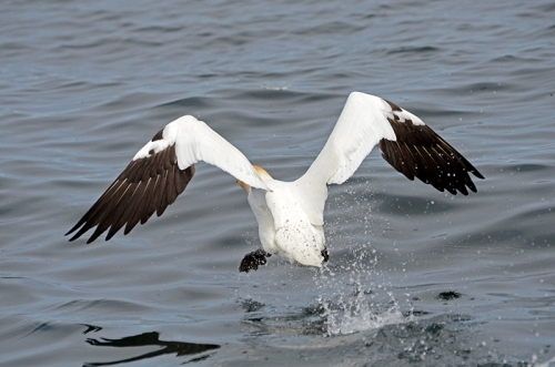 gannet after take off