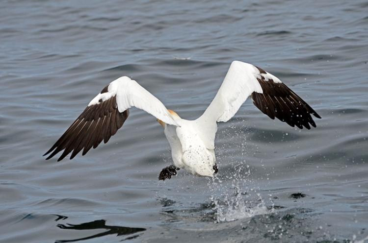 gannet after take off