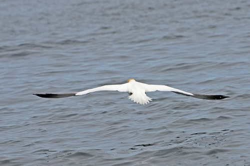 gannet flying away