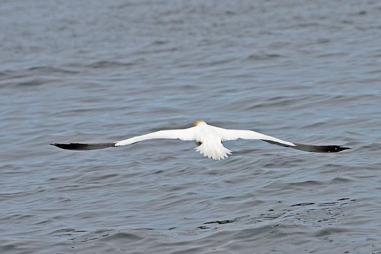 gannet flying away