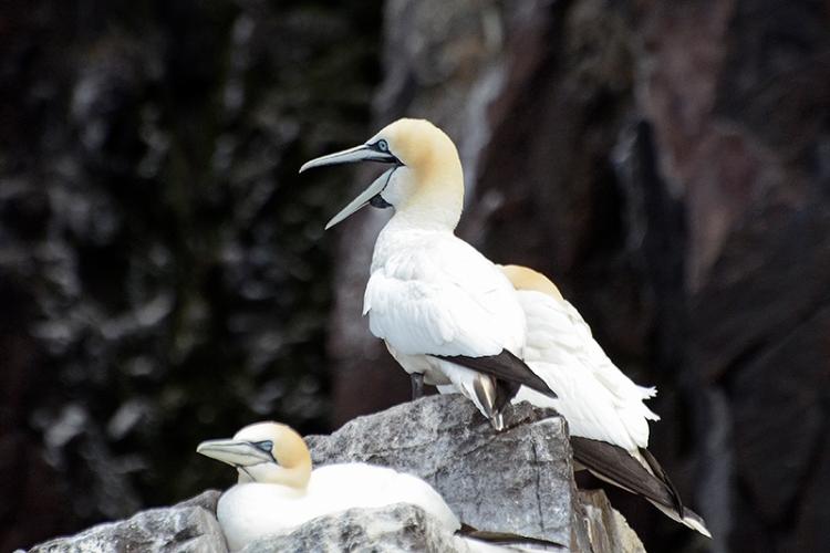 gannet shouting