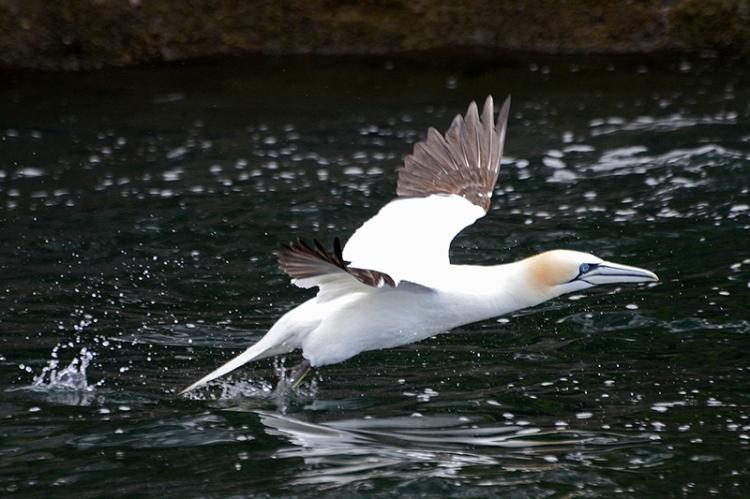 gannet taking off