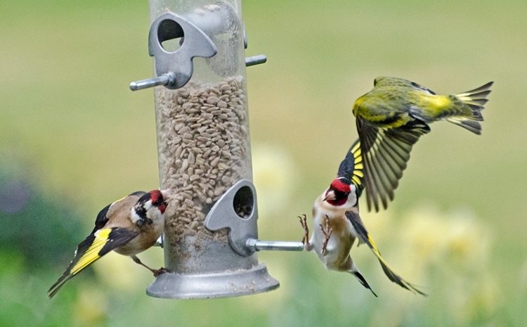 goldfinch and siskin in a scrap