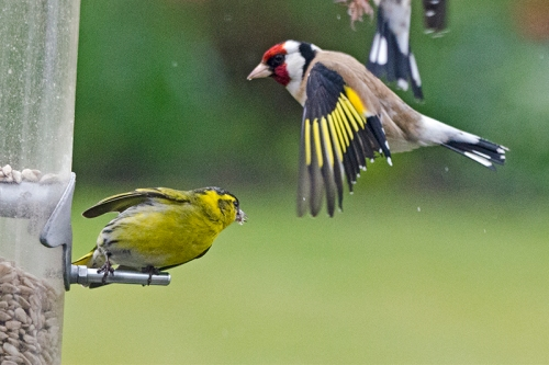 goldfinch and siskin