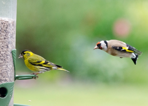 goldfinch arrowing in on siskin