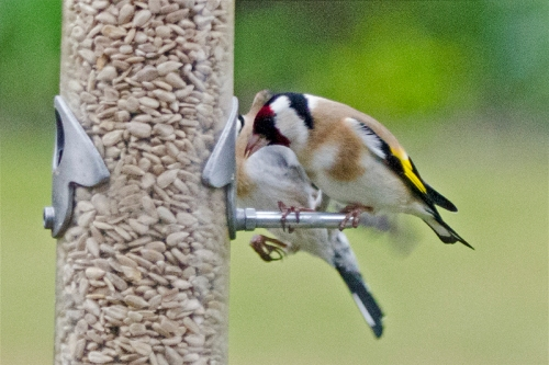 goldfinch competing