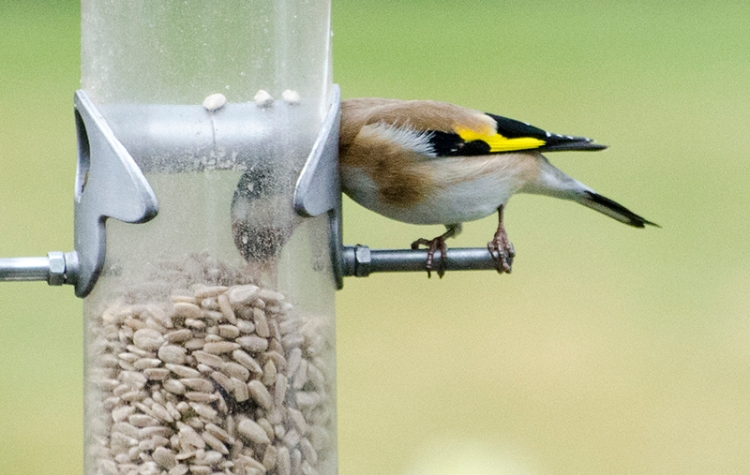goldfinch tucking head in