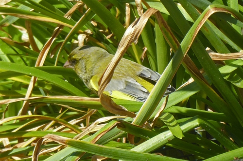 greenfinch among daffodil leaves
