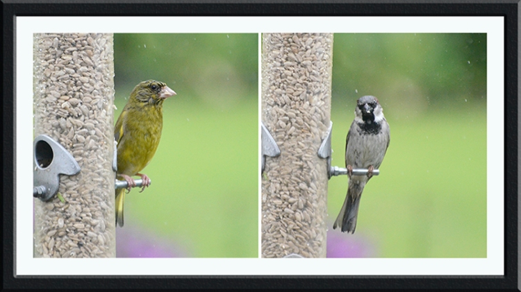 greenfinch and sparrow in the rain