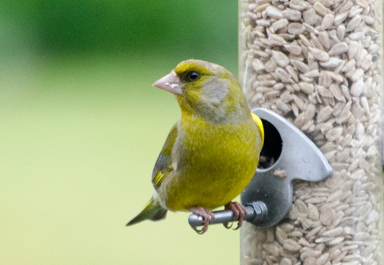 greenfinch may