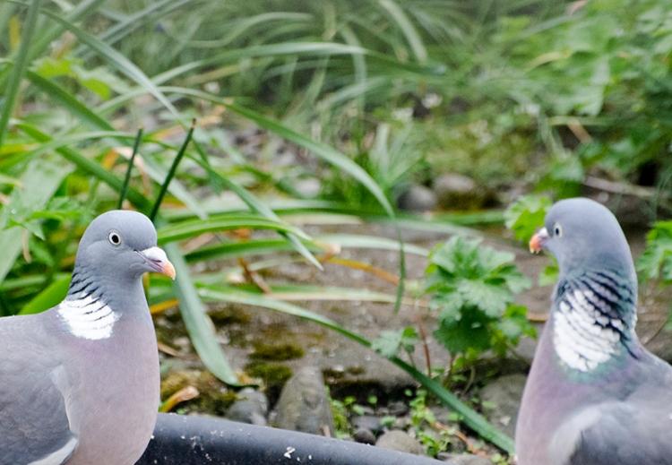 hard stare pigeon