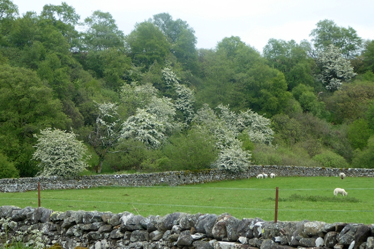 hawthorn and lambs