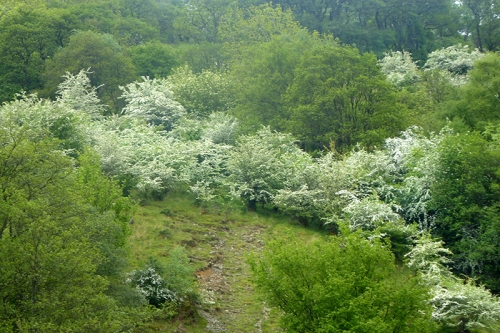 hawthorn on hill