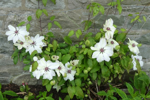 home clematis