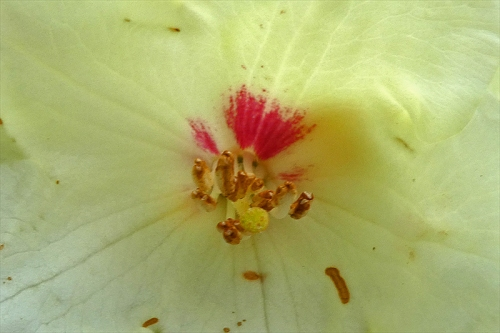 inside a white rhododendron
