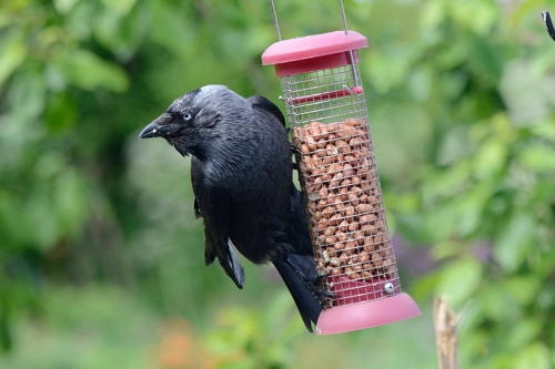 jackdaw going nuts