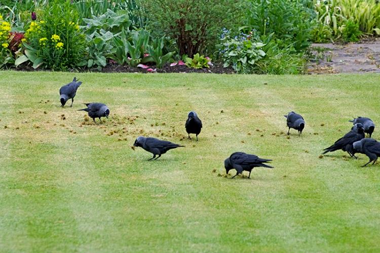 Jackdaws on lawn