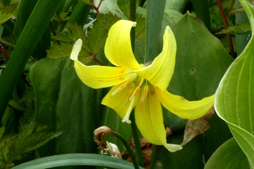 last trout lily