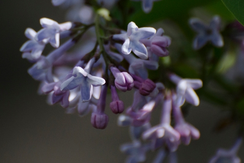lilac in shade