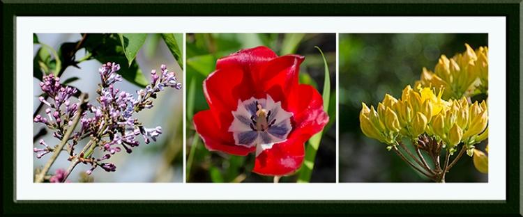 lilac, tulip, azalea