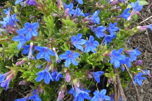 lithodora May