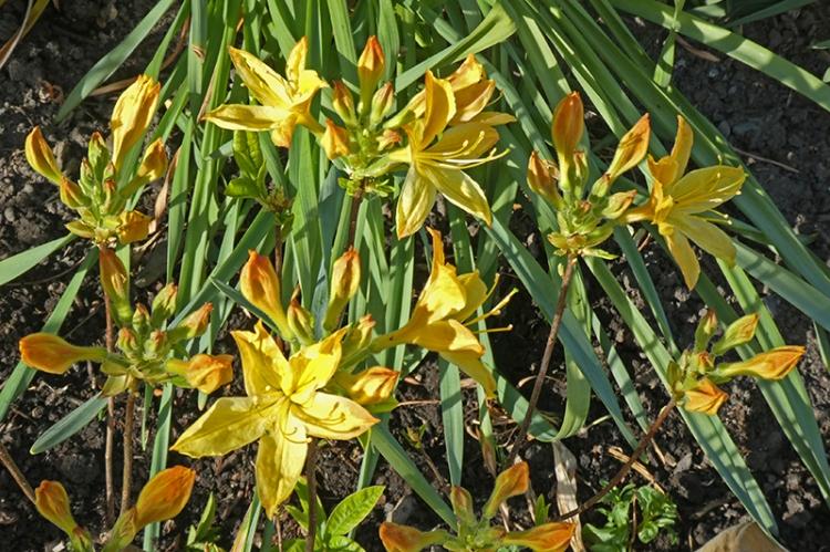 new yellow azalea