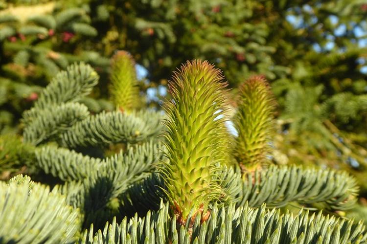 noble fir female
