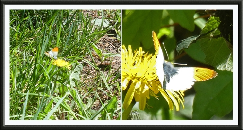 orange tip butterfly 1