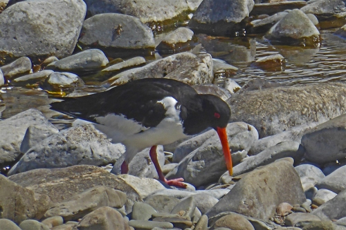 oyster catcher by esk