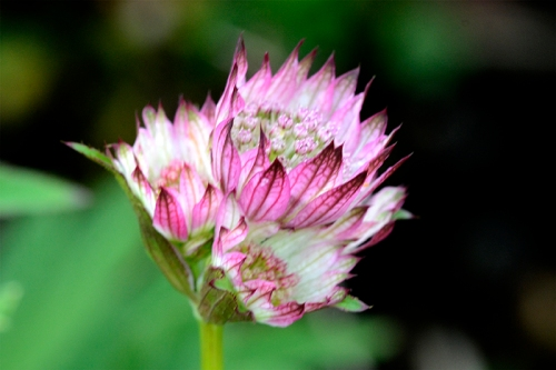 pale astrantia
