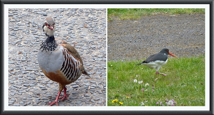 Partridge and oyster catcher