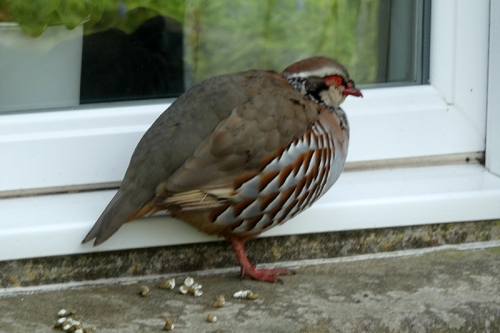 partridge on window sill