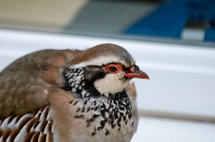 partridge on windowsill
