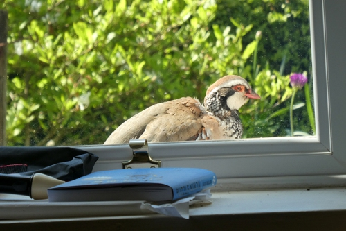 partridge outside window