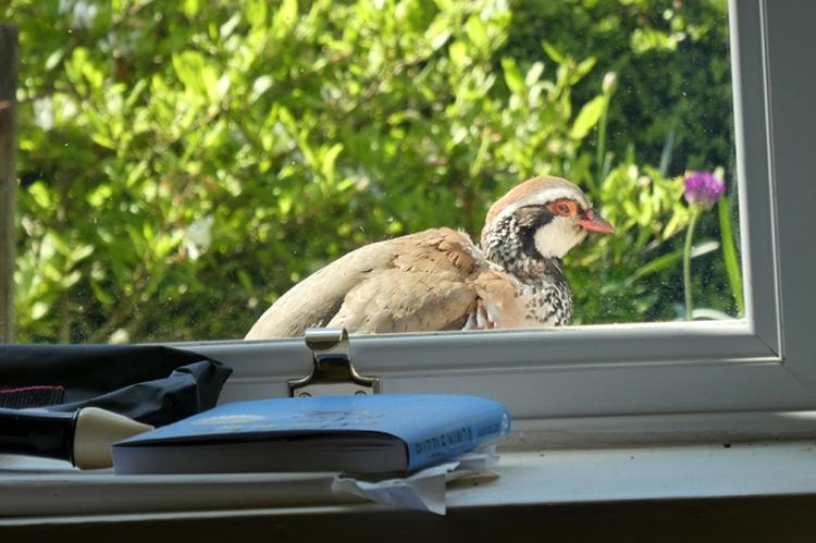 partridge outside window