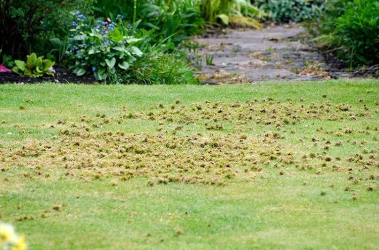 pecked lawn
