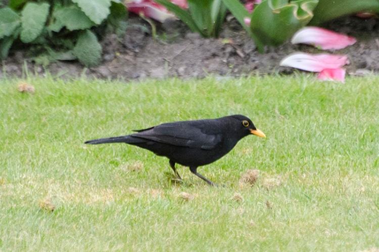 pecking blackbird